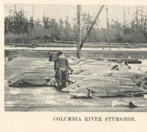 Columbia River Sturgeon Freshwater Image Bank