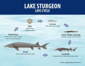 Life Cycle of Sturgeon Mi SeaGrant
